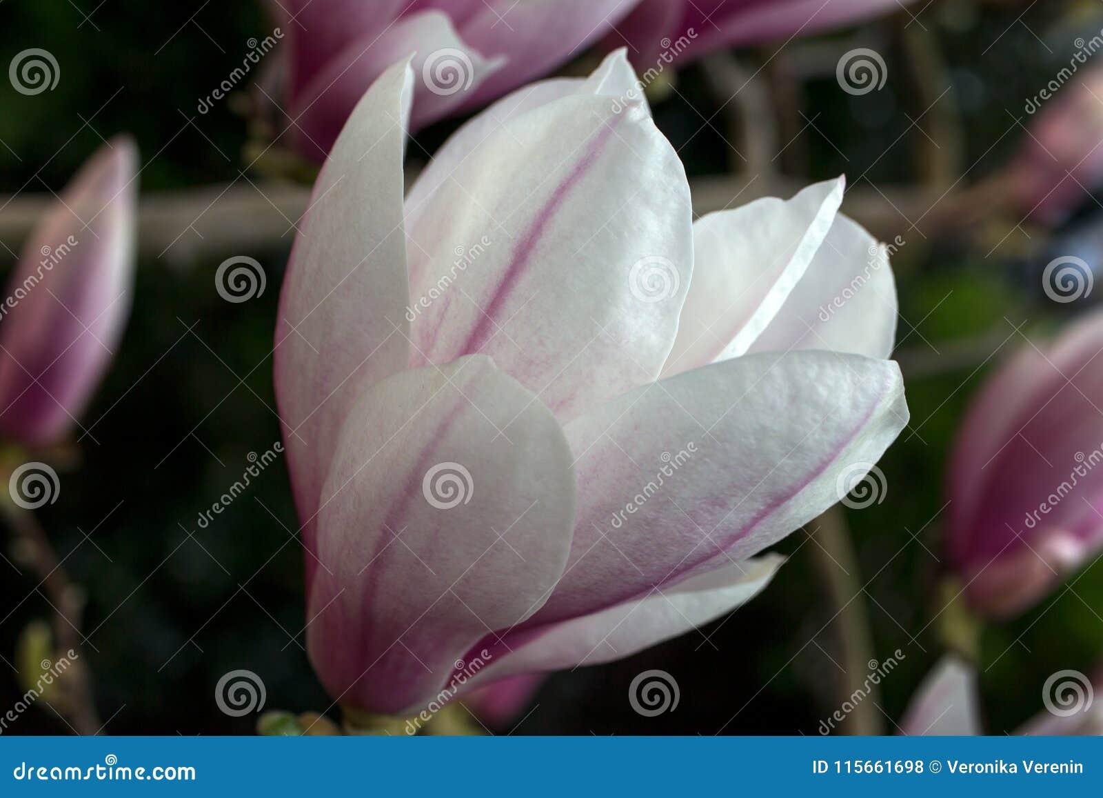 Magnolia Sieboldii Tree Stock Photo Image Of Closeup 115661698
