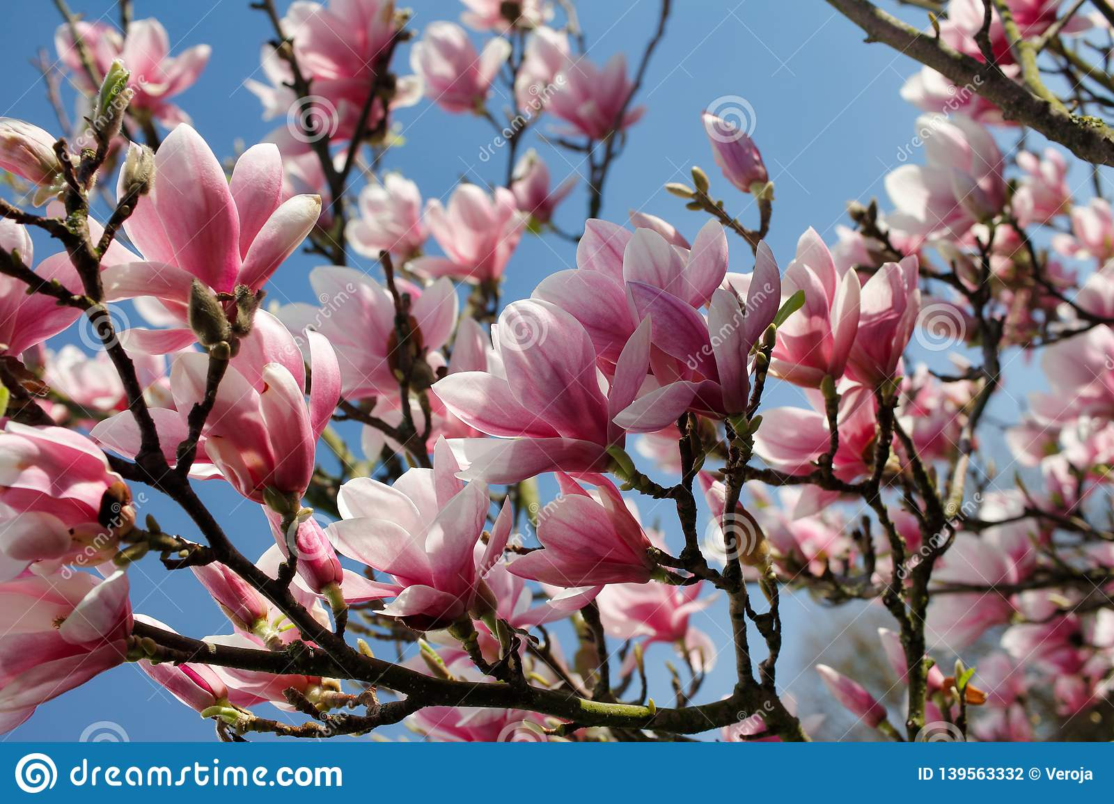 Branch Of Magnolia Tree In The Spring Garden Stock Photo Image Of