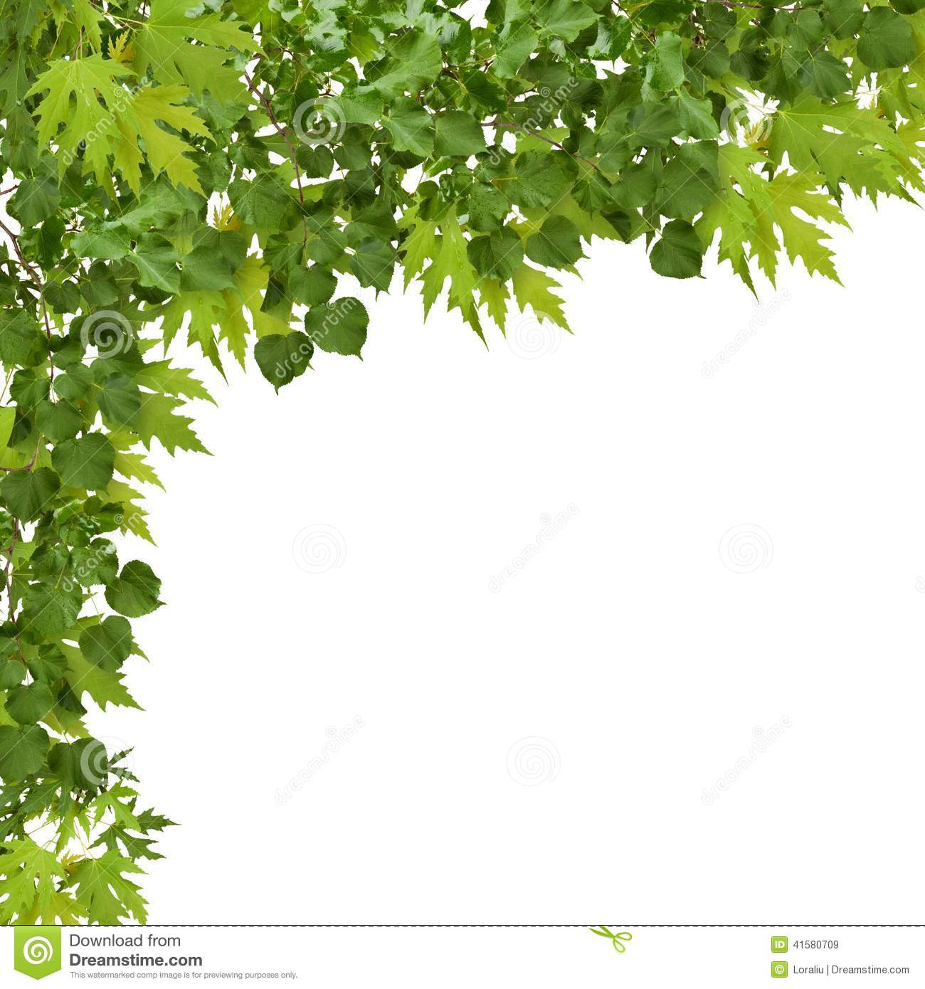 Branch of maple with green leaves isolated