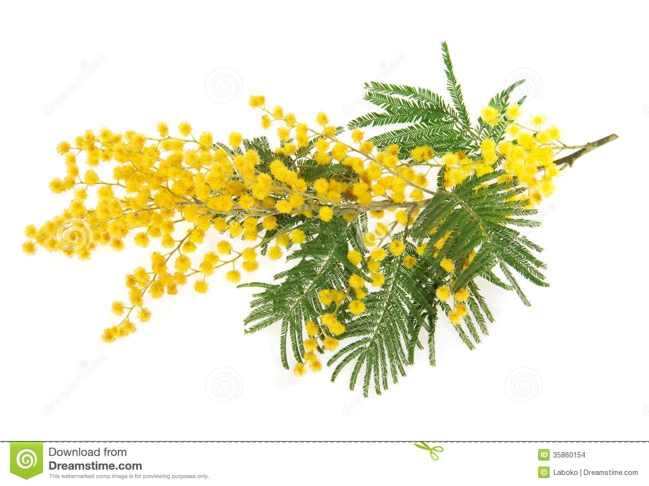 The branch of a mimosa stock photo image of holiday 35860154 the branch of a mimosa mightylinksfo