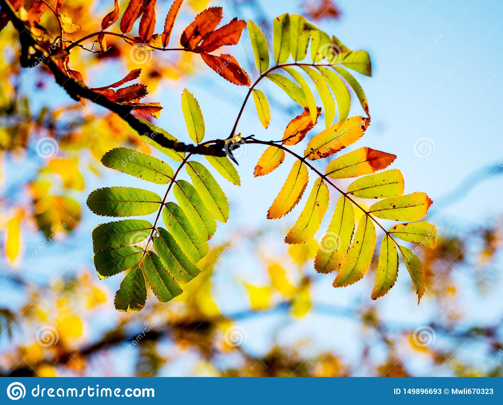 A branch of a mountain ash with multicolored autumn leaves on a background of a blue sky_