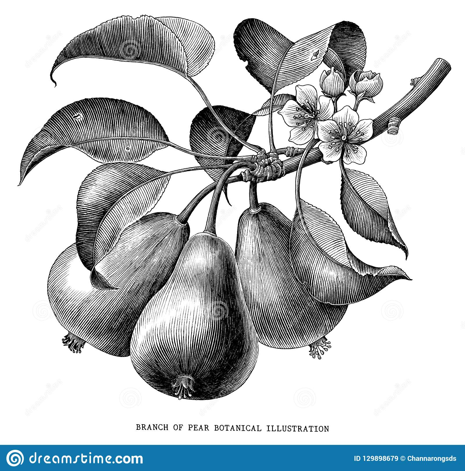 Branch of pear botanical vintage engraving illustration isolated