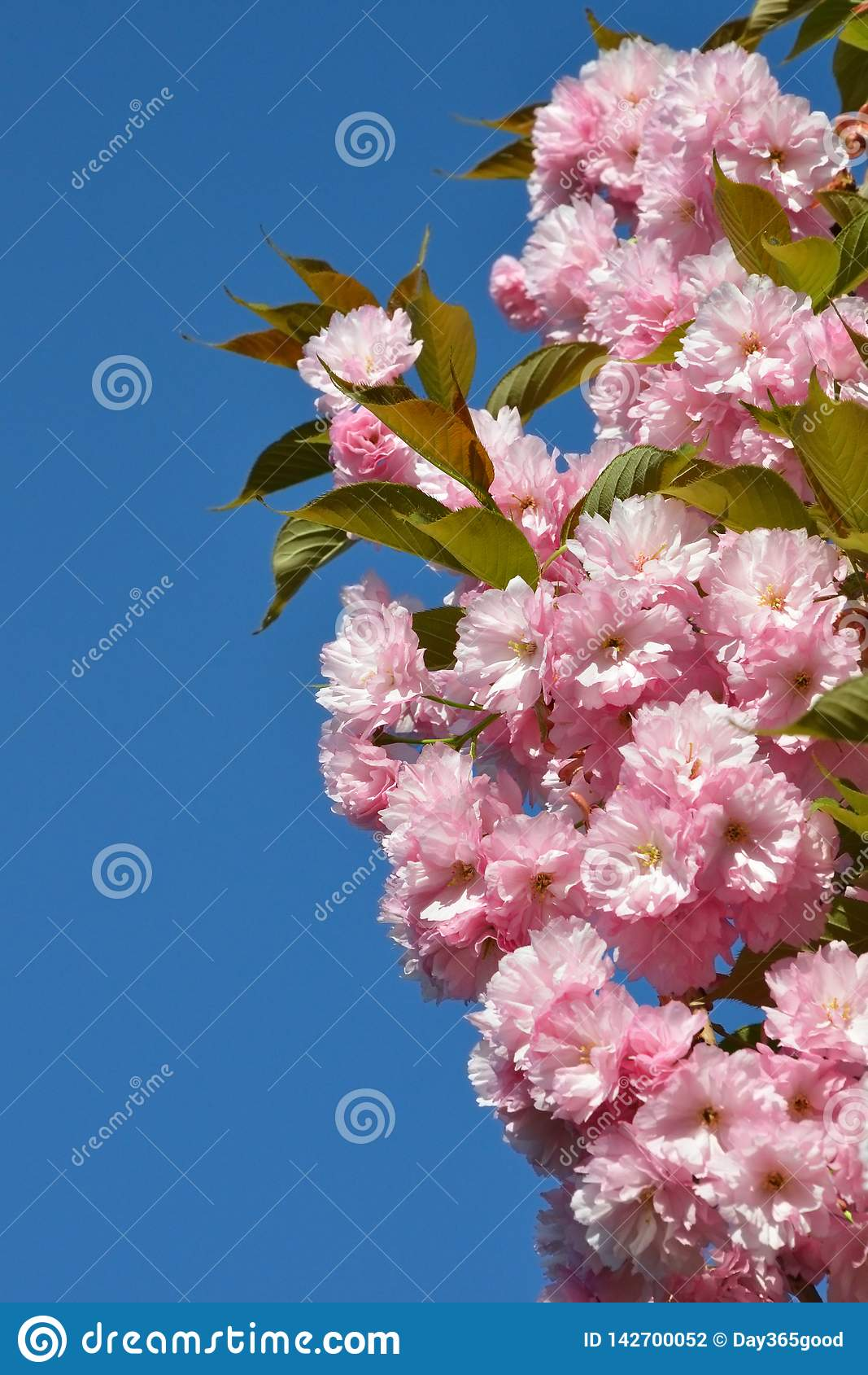 Branch of pink cherry blossoms against the blue sky. Flowering garden. Spring  bloom