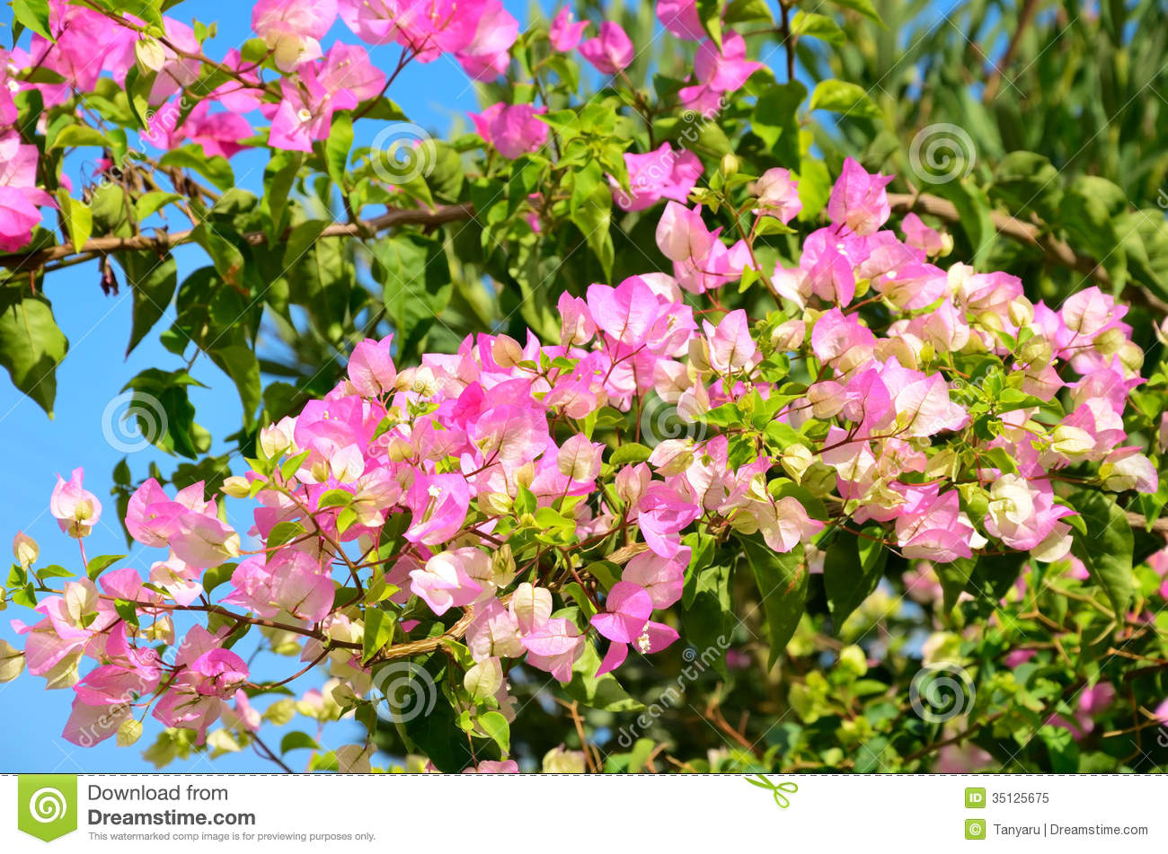 Branch With Pink Flowers And Green Leaves Horizontal Stock Image