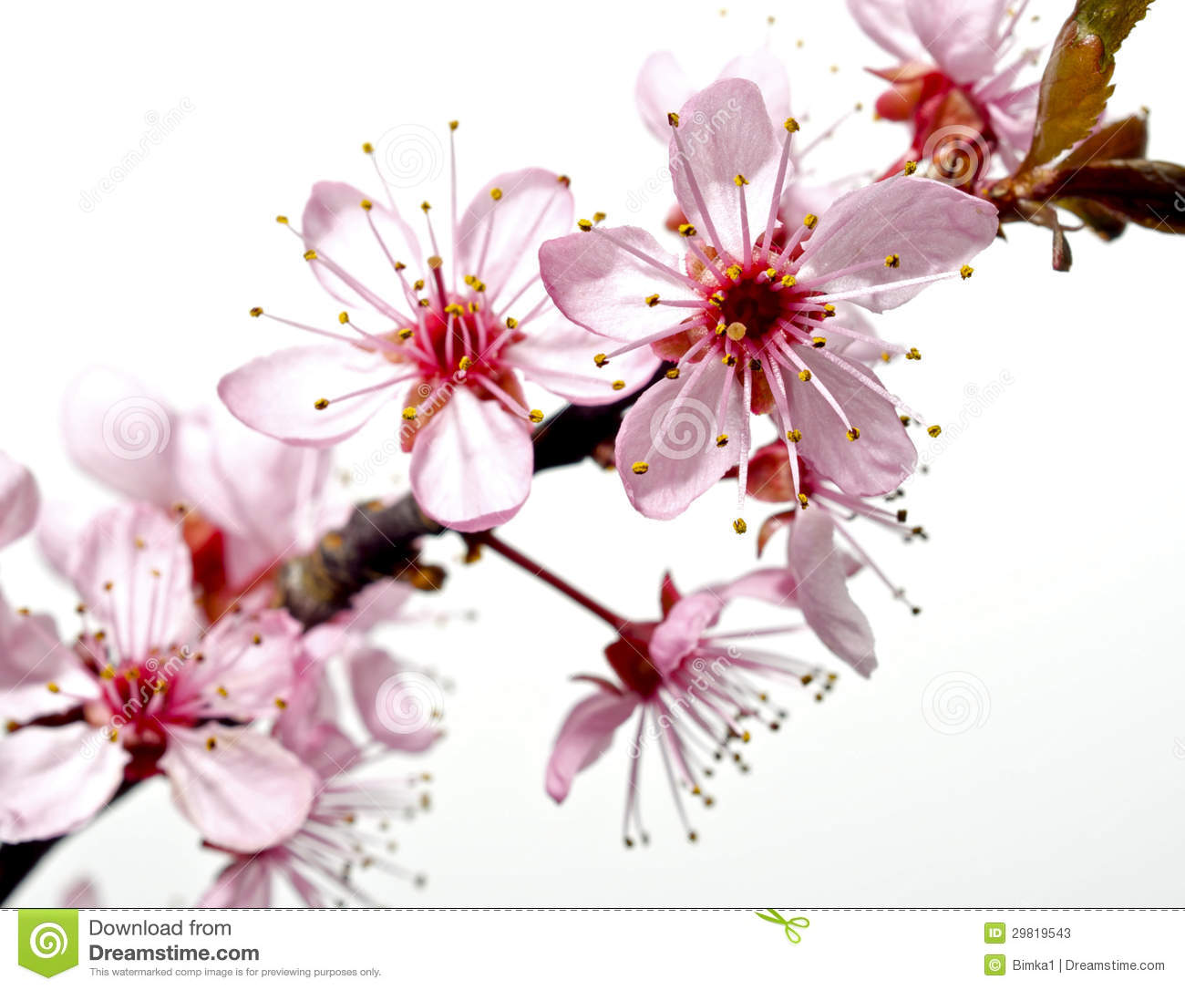 Blossoming Tree Branch With Pink Flowers Stock Photos Image 29819543