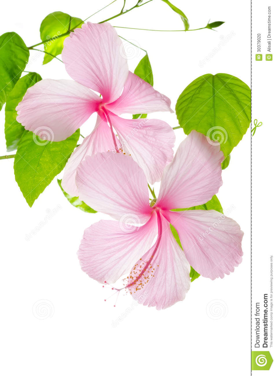 Branch Pink Hibiscus Flower Isolated On White Stock Photo ...