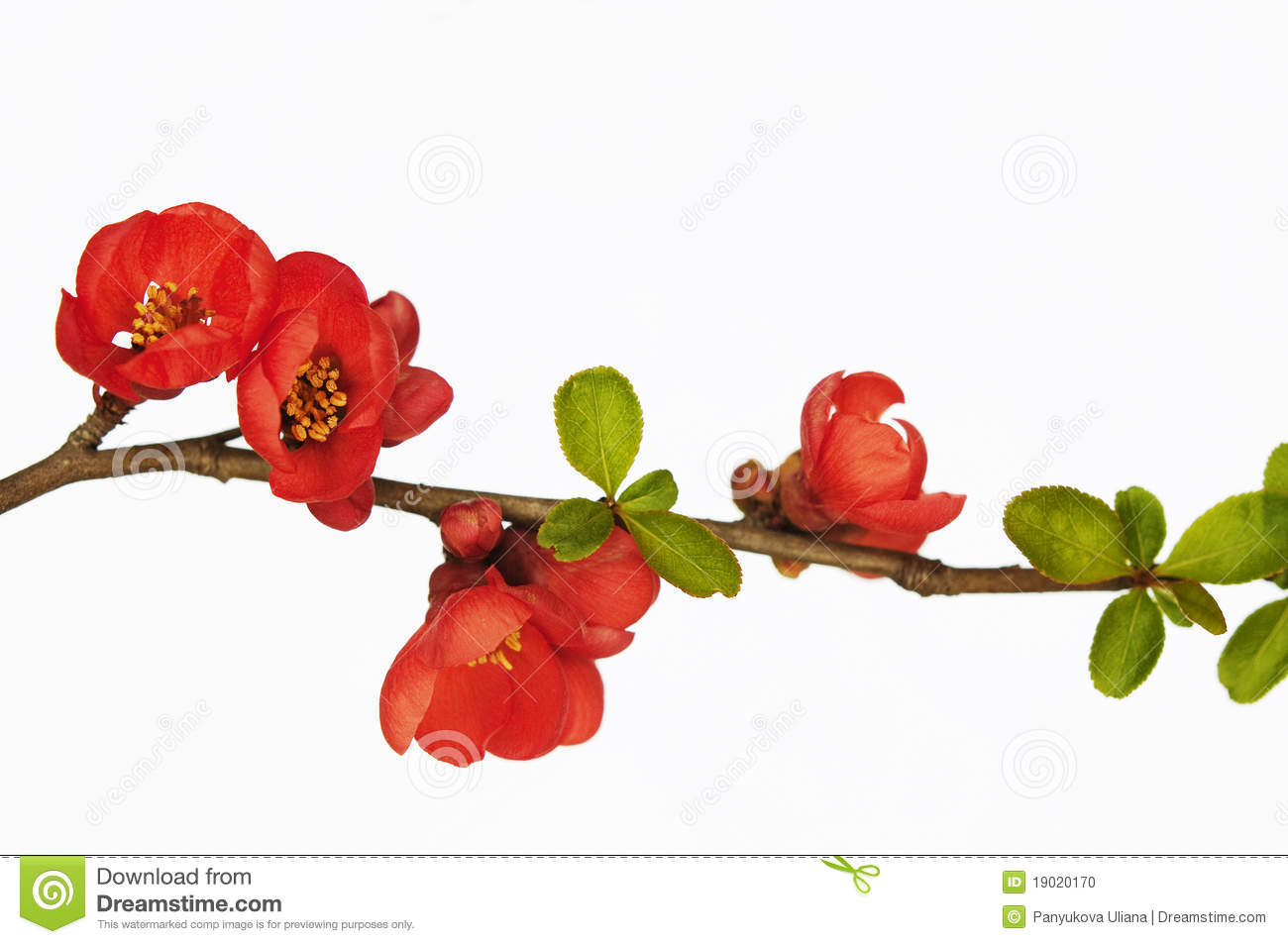 branch of quince in blossom stock photo - Quince Flower