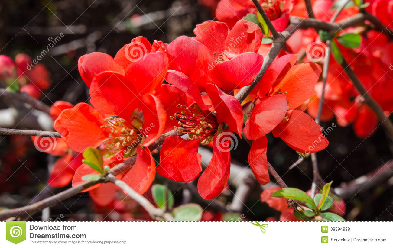 Branch With Red Spring Flowers On The Bush Stock Photo