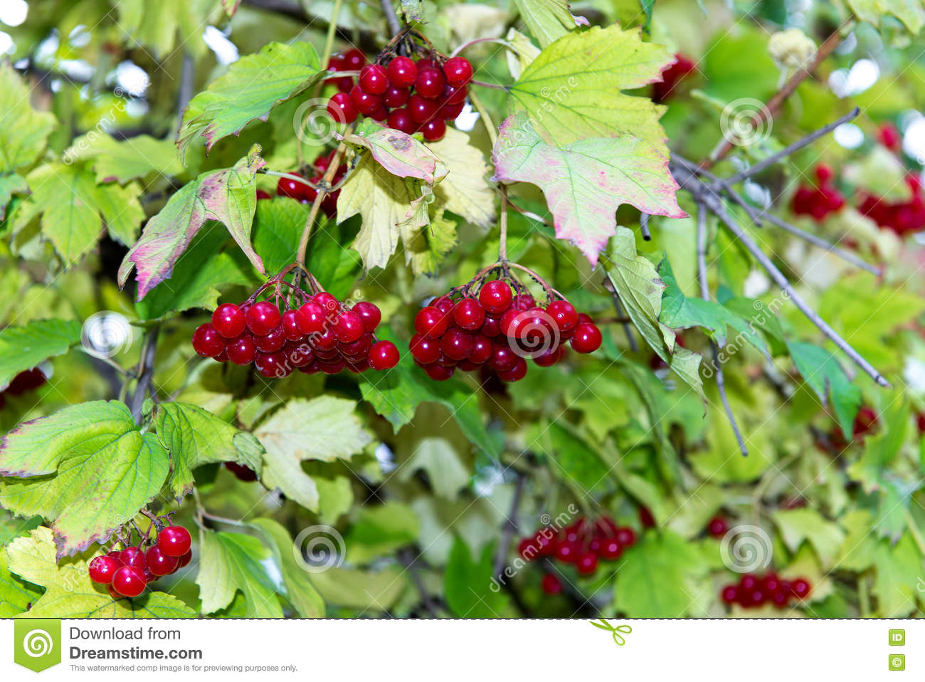 Branch of red viburnum in the garden. Bright red viburnum bunches in the autumn garden. Collection of raspberry harvest.