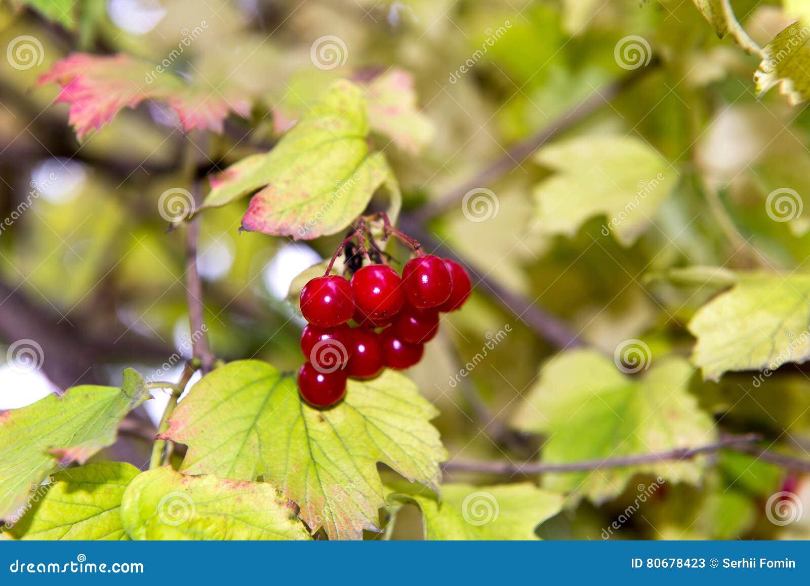 Branch of red viburnum in the garden. Bright red viburnum bunches in the autumn garden. Collection of raspberry harvest.