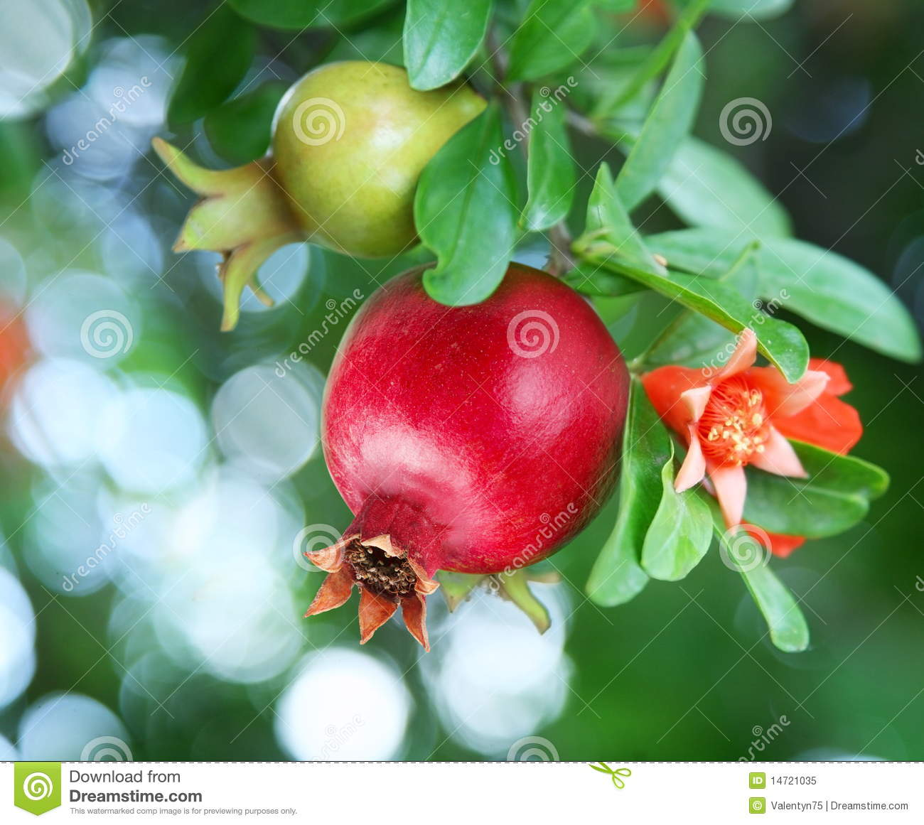 Branch with ripe pomegranate