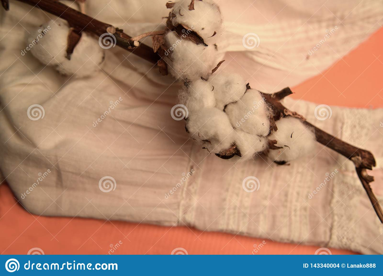 A branch with ripened and opened cotton bolls lies on a white shirt