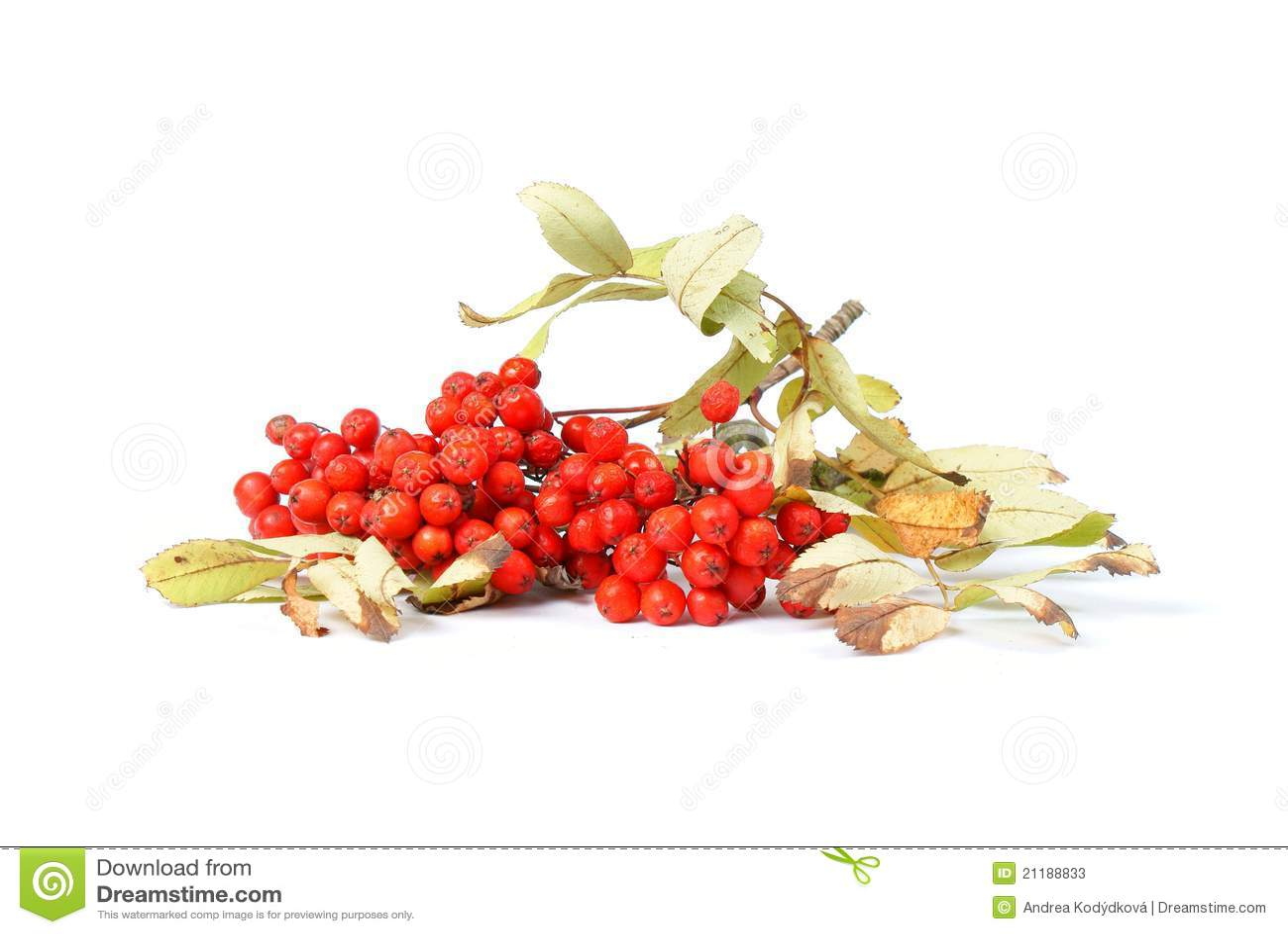 Branch of rowan berries