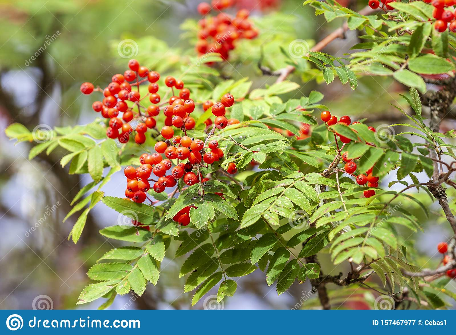 Branch Of Rowan Tree With Red Berries In Autumn Stock Image