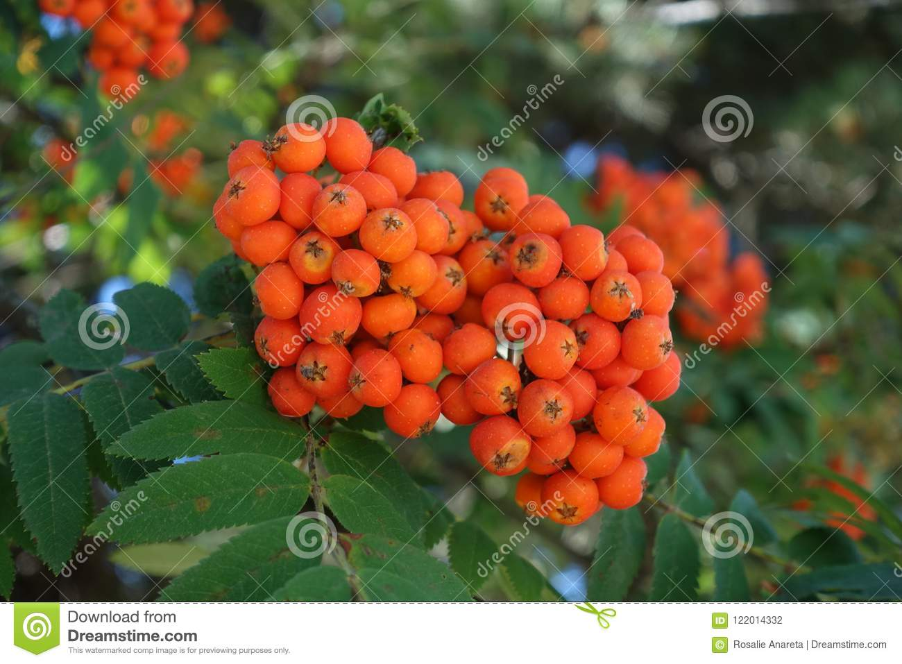A branch of Rowanberry fruit