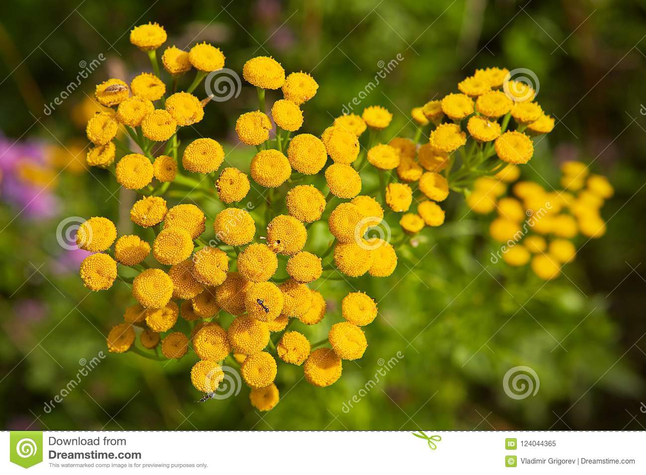 Branch With Small Yellow Flowers Tansy Stock Image Image Of Herb