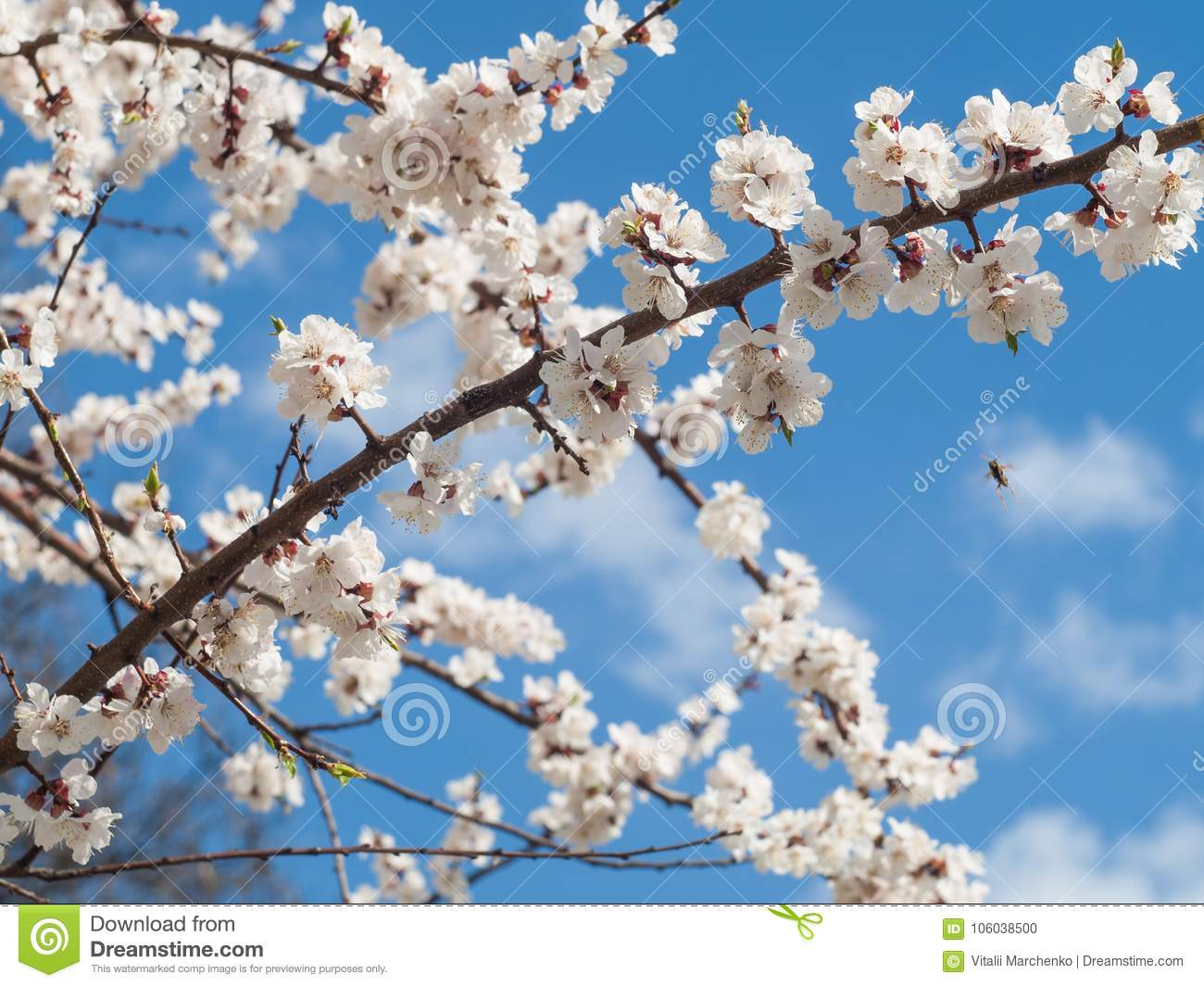 Branch Of Spring Flowering Apple Tree With Blue Sky Background Stock