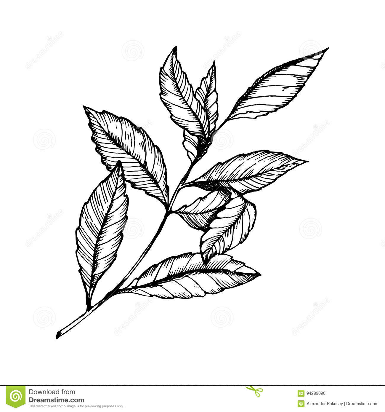 Branch Of Tea Plant Engraving Style Vector