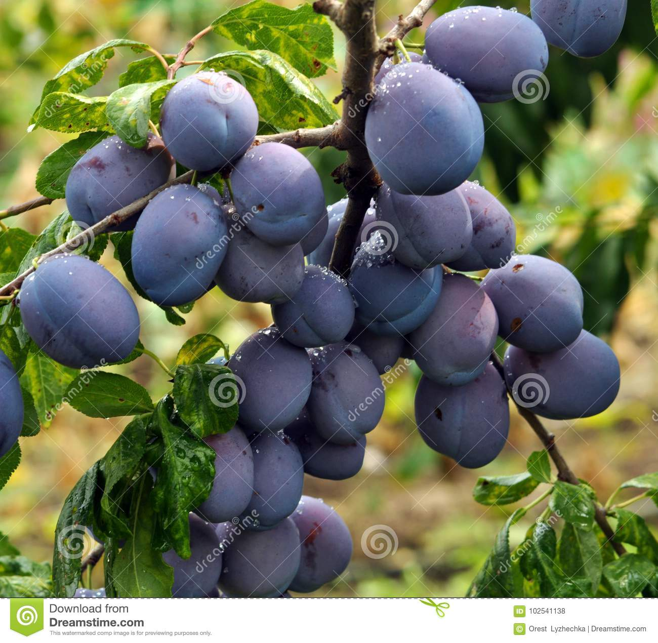 plum branch mature singles Singles only sort by most popular name - a to z name - z to a size - small to large size - large to small stitches - high to low stitches - low to high price - high to low price - low to high.