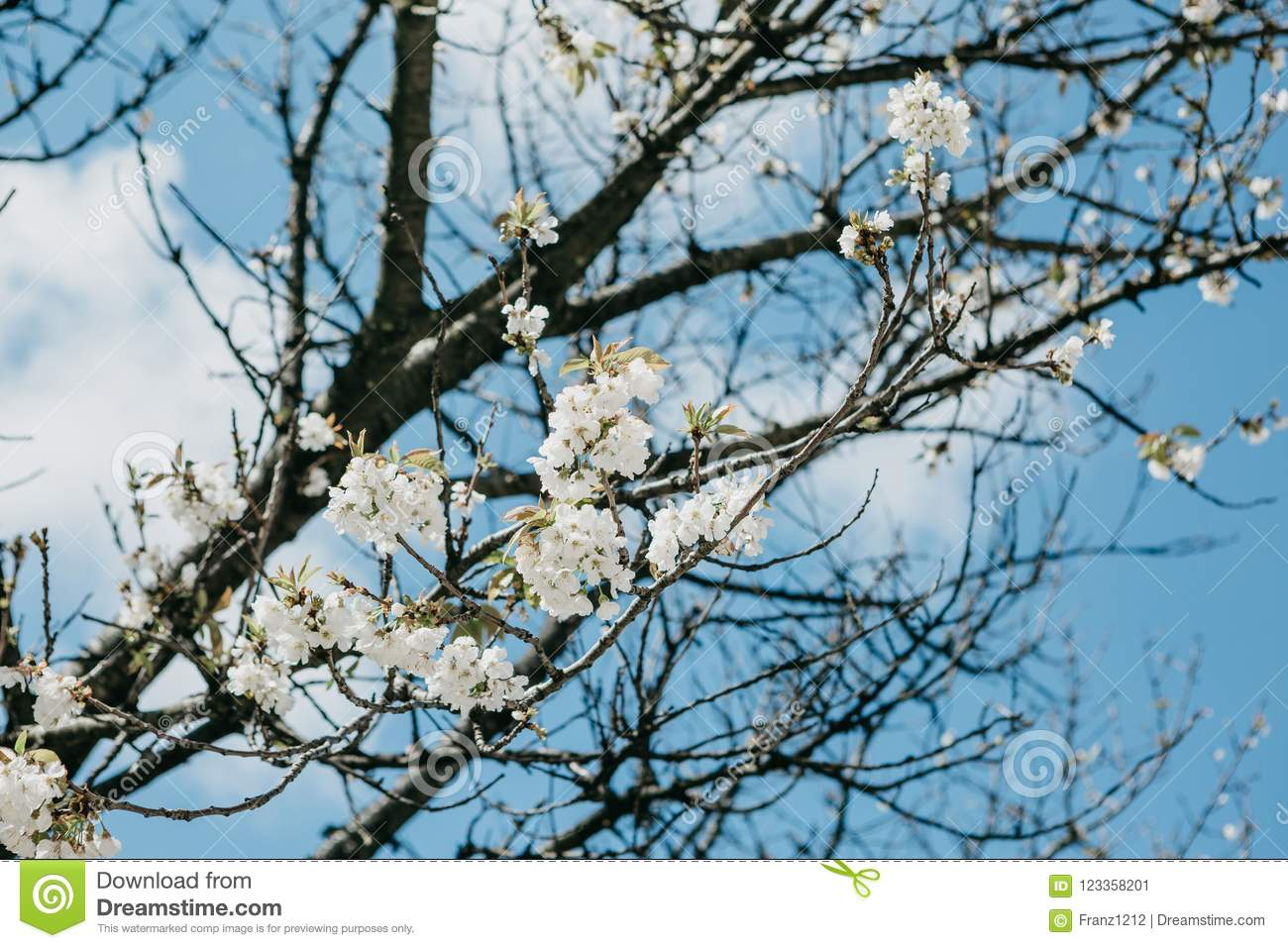 Branch Of A Tree With White Flowers Against The Blue Sky Stock