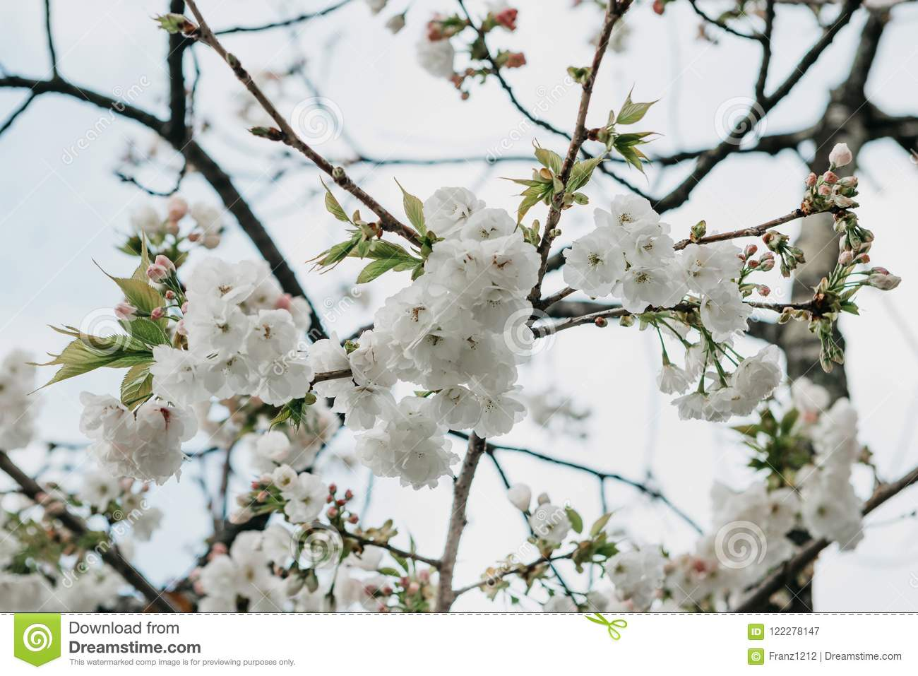 Branch Of A Tree With White Flowers Against The Sky Stock Image