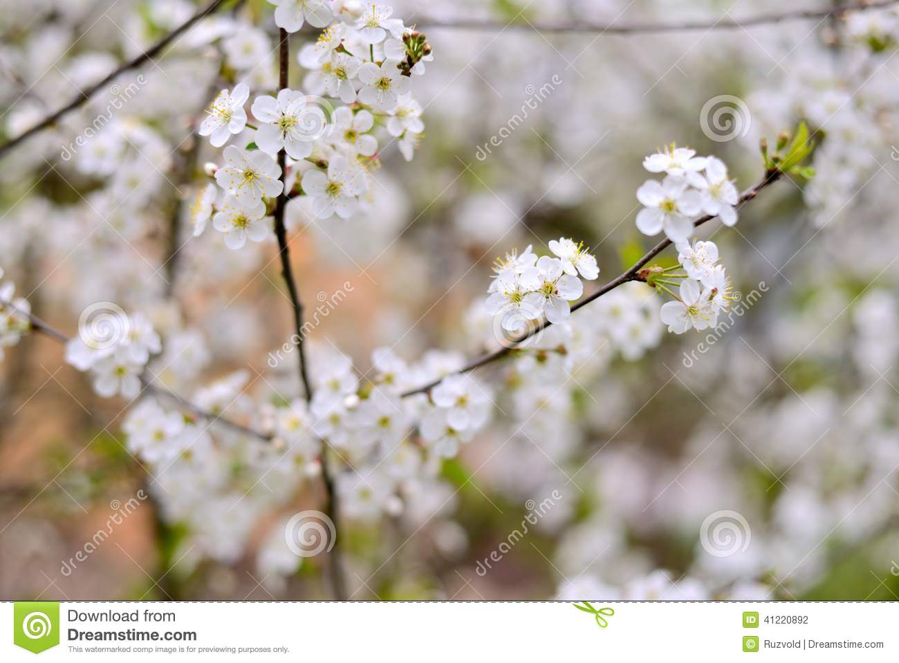 Branch Of A Tree With White Flowers Stock Photo Image Of Cherry