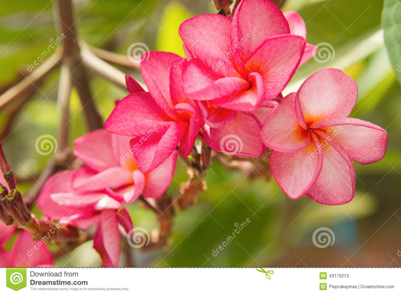branch of tropical pink flowers frangipani stock photo  image, Beautiful flower