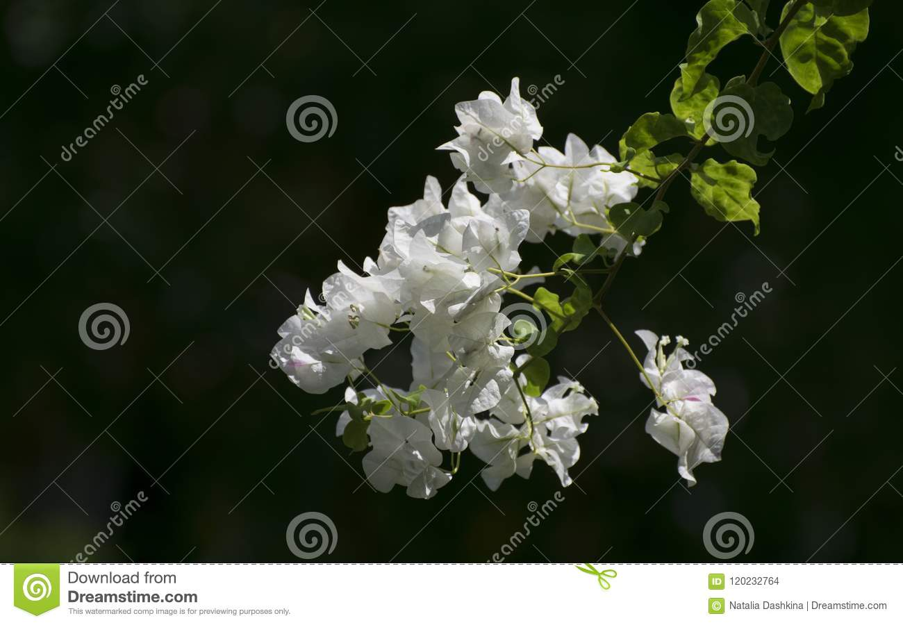 Branch Of A Tropical Tree With White Colors Against A Dark