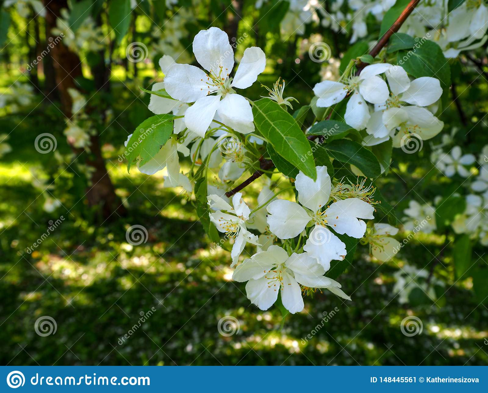 Branch of white blooming apple tree