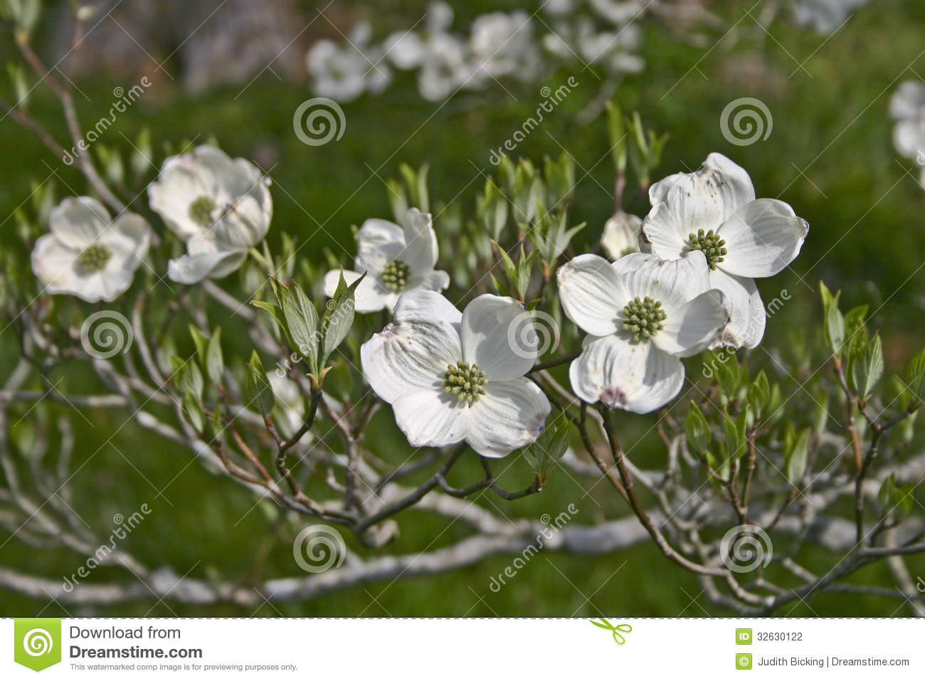 Close up of a branch of white dogwood tree flowers in early spring.