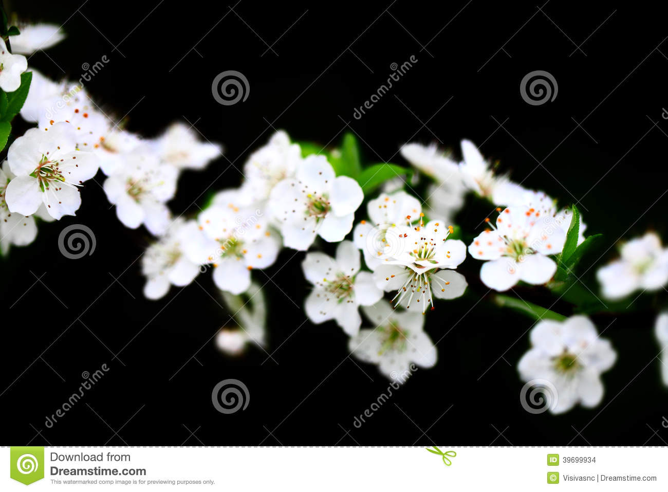 Branch of white flowers on black background stock photo image of branch of white flowers on black background mightylinksfo