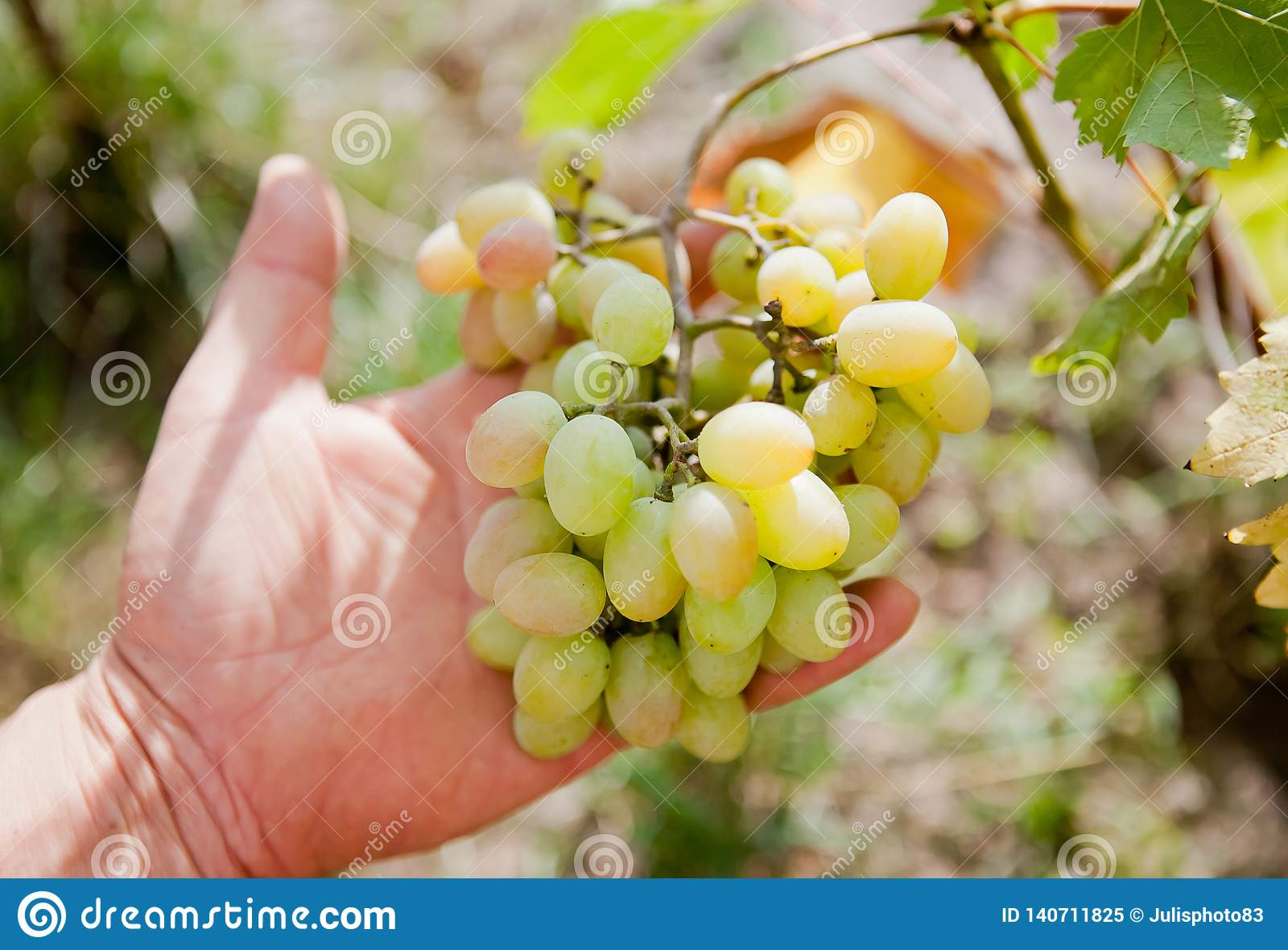 Branch of white grapes in hand