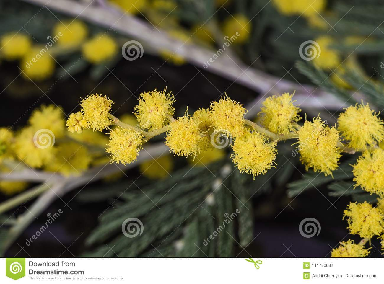 Branch of yellow mimosa flowers