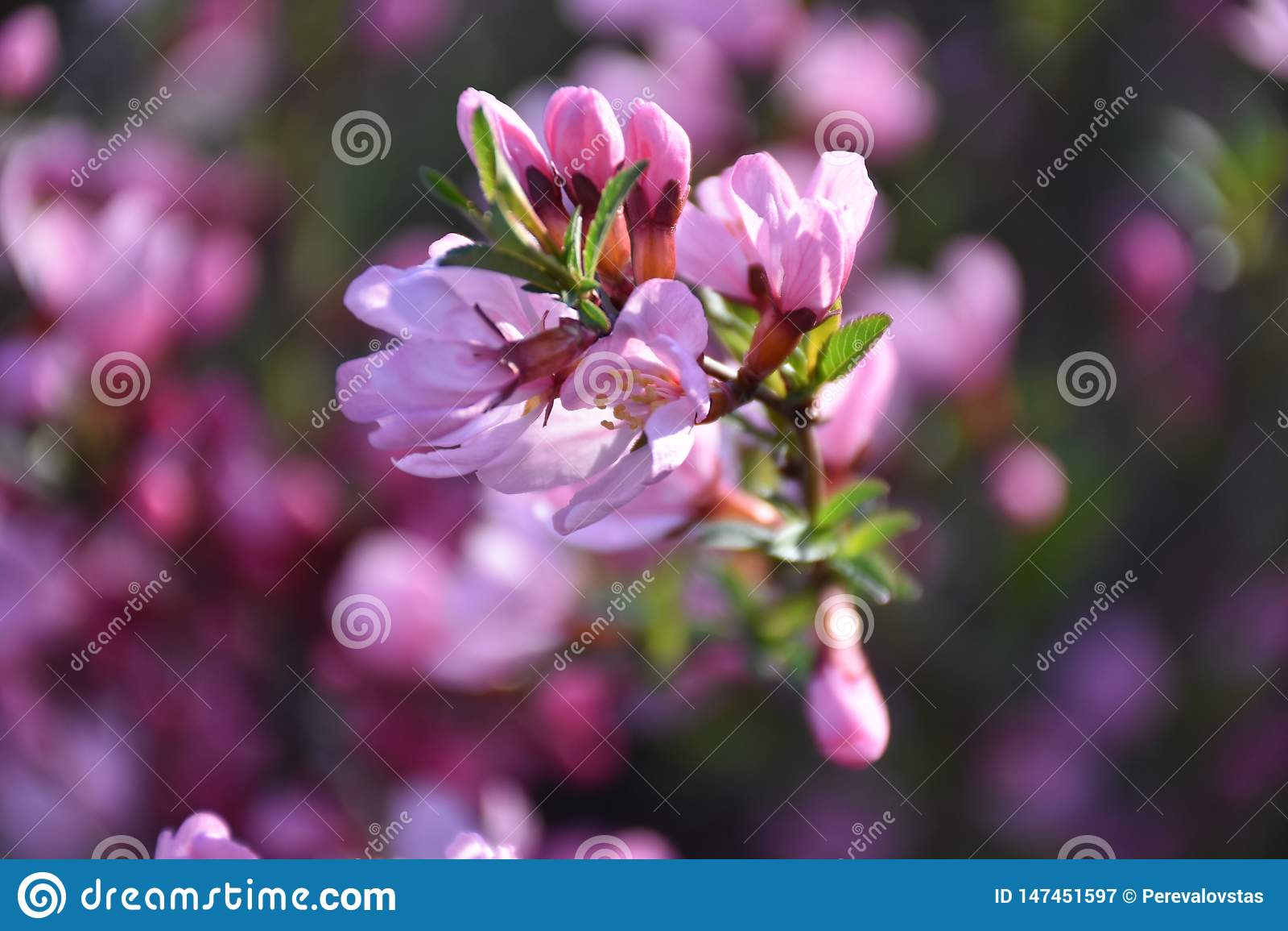 Branche d amande fleurissante