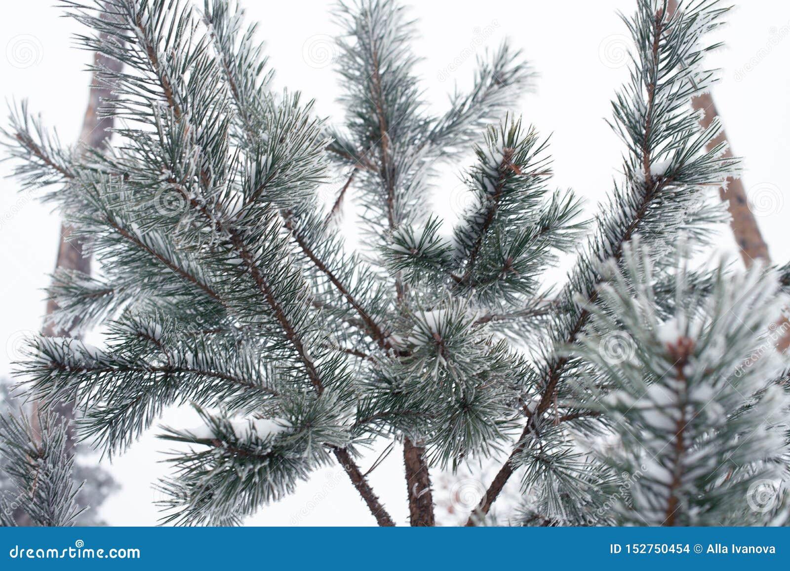 Branche d arbre couverte de neige au parc, froid tonned Conceprt d hiver