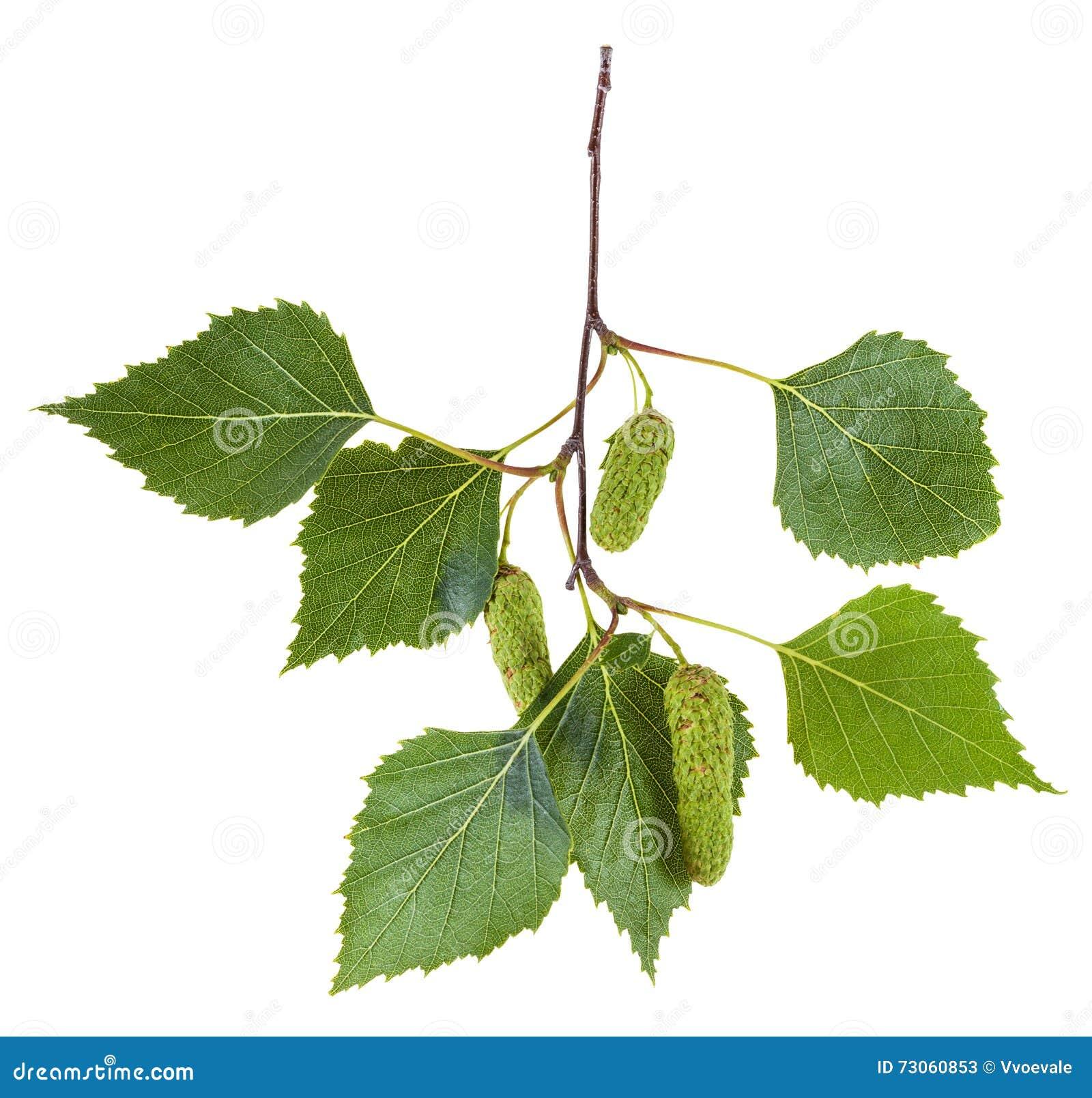 branche d 39 arbre de bouleau avec des feuilles et des chatons de vert image stock image 73060853. Black Bedroom Furniture Sets. Home Design Ideas