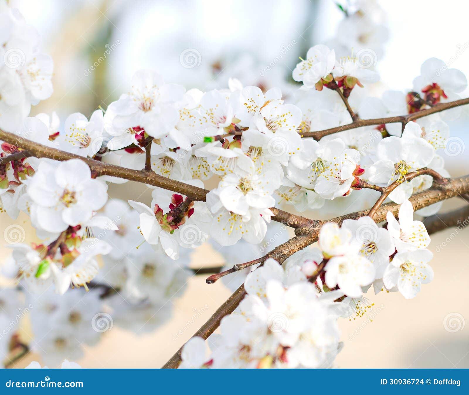 branche d 39 arbre en fleur photo stock image du agriculture 30936724. Black Bedroom Furniture Sets. Home Design Ideas