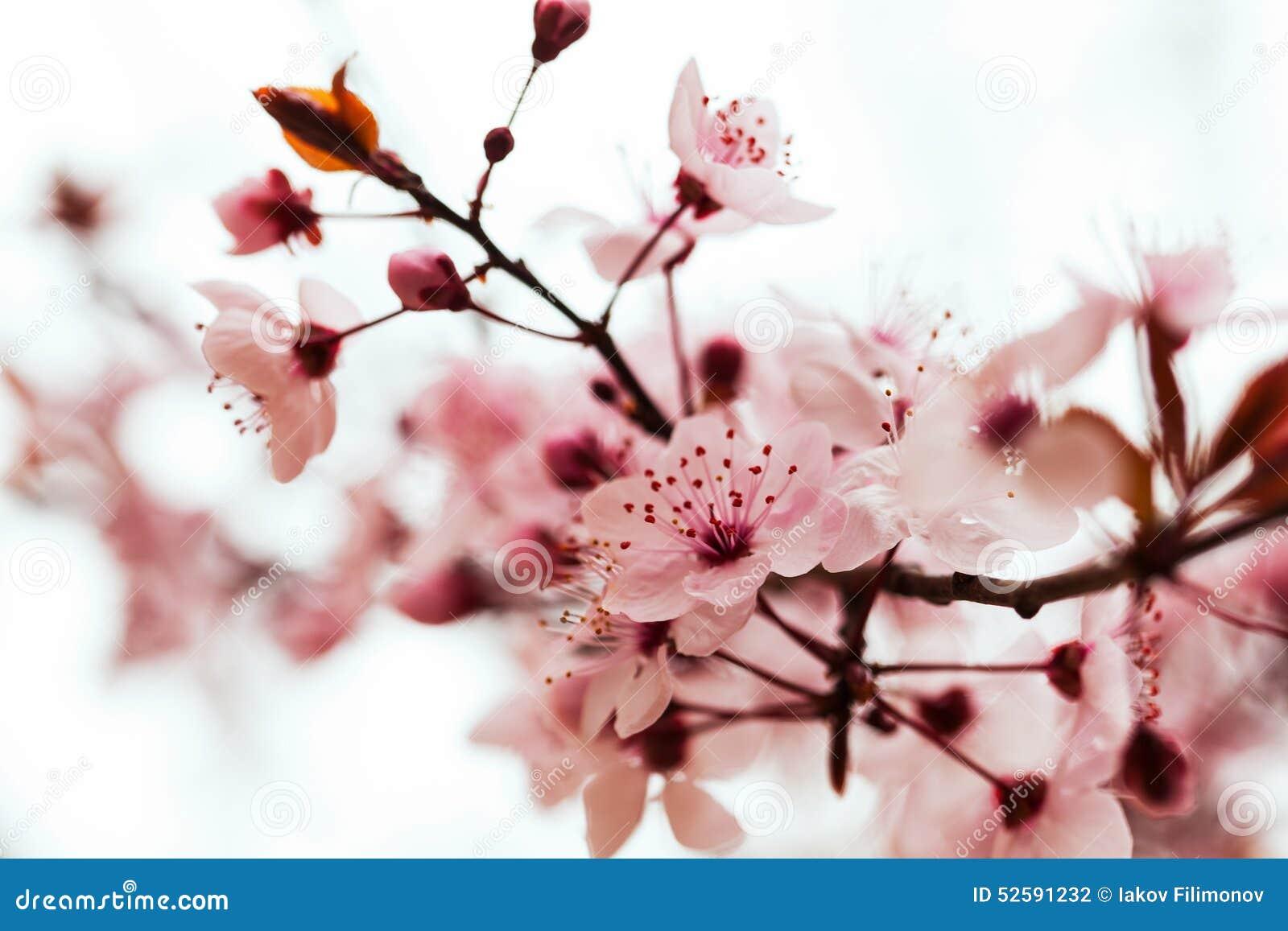 branche d 39 arbre en fleur photo stock image 52591232. Black Bedroom Furniture Sets. Home Design Ideas