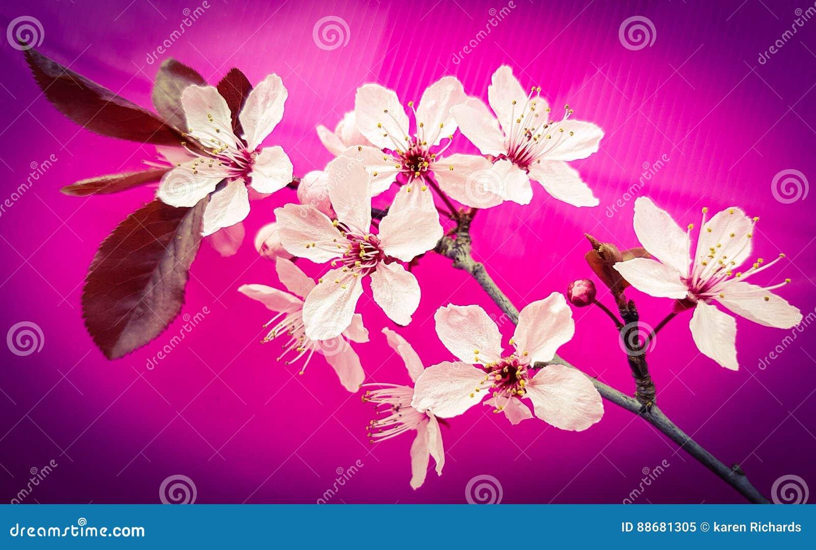 Branche D Arbre Rose De Fleur Sur Le Fond Rose Lumineux Image Stock