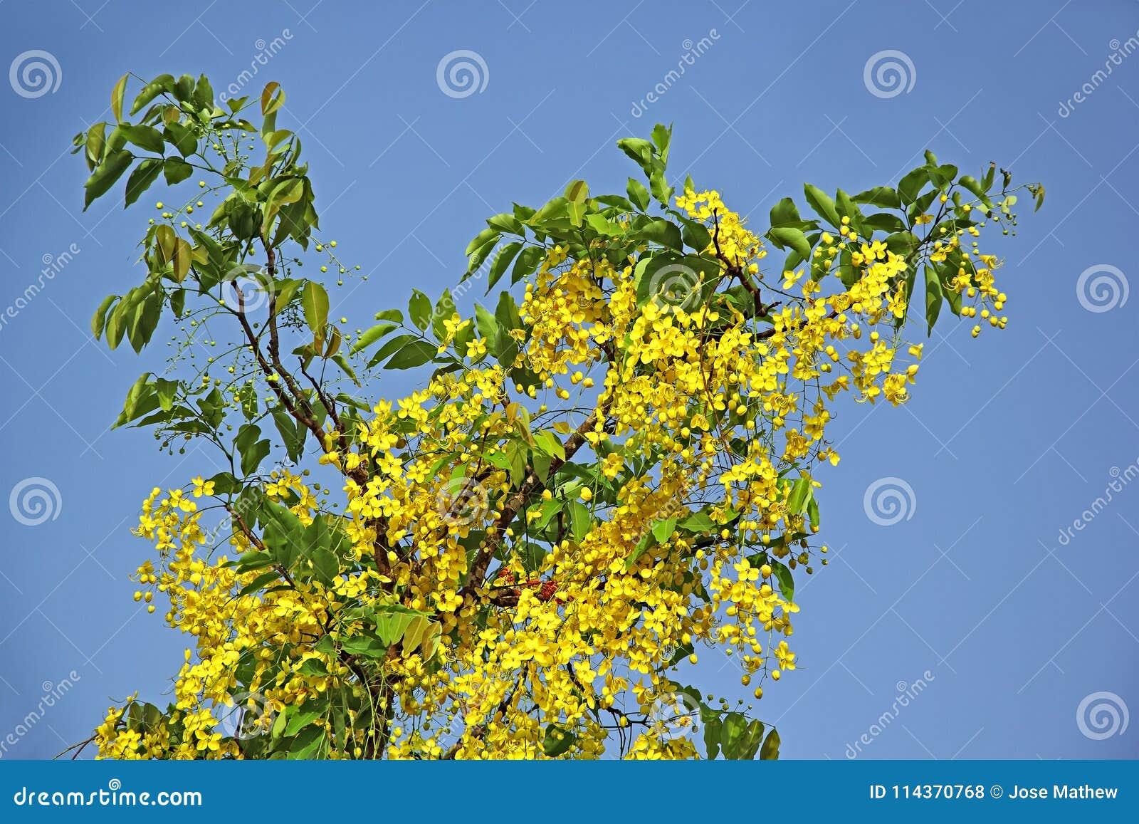 Branche D Arbre D Or Se Developpante De Fleur De Douche Photo Stock