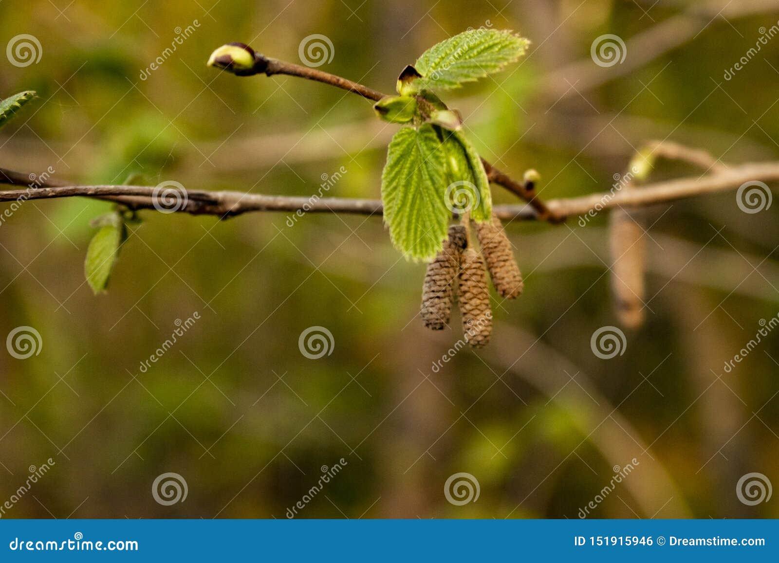Branche d aulne avec des bourgeons, de jeunes feuilles et des boucles d oreille
