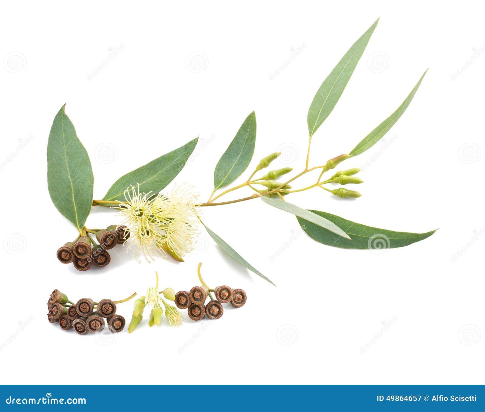 branche d'eucalyptus image stock. image du botanique - 49864657