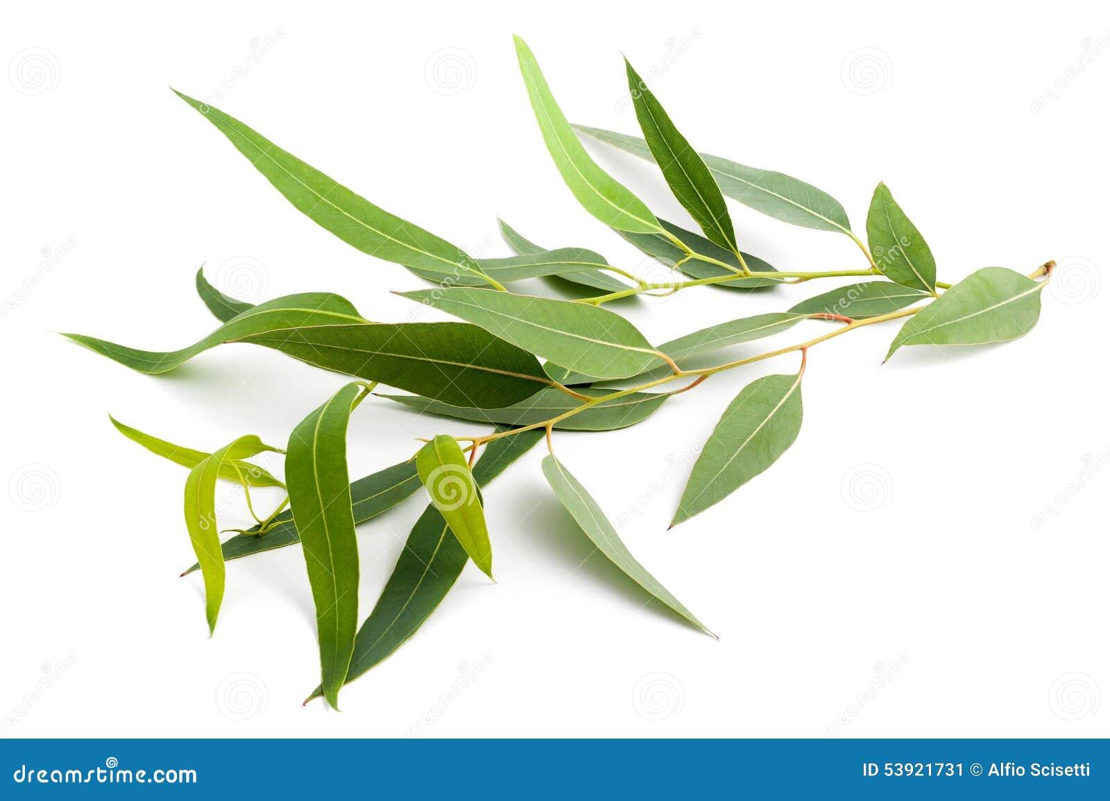 branche d'eucalyptus photo stock. image du normal, fleur - 45532730