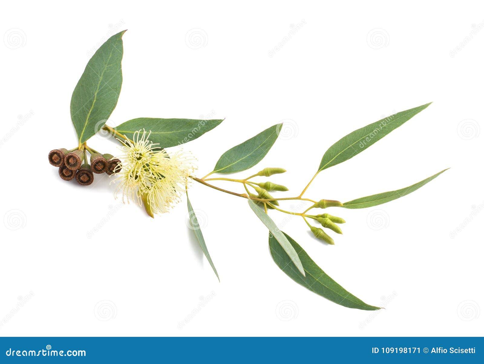 branche d'eucalyptus d'isolement image stock - image du brindille