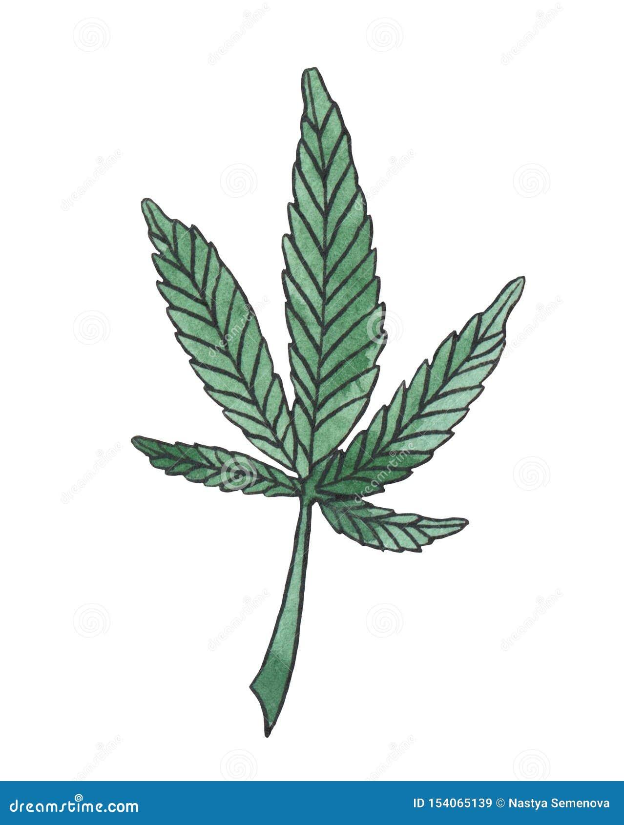 Branche d illustration d aquarelle de congé vert de chanvre