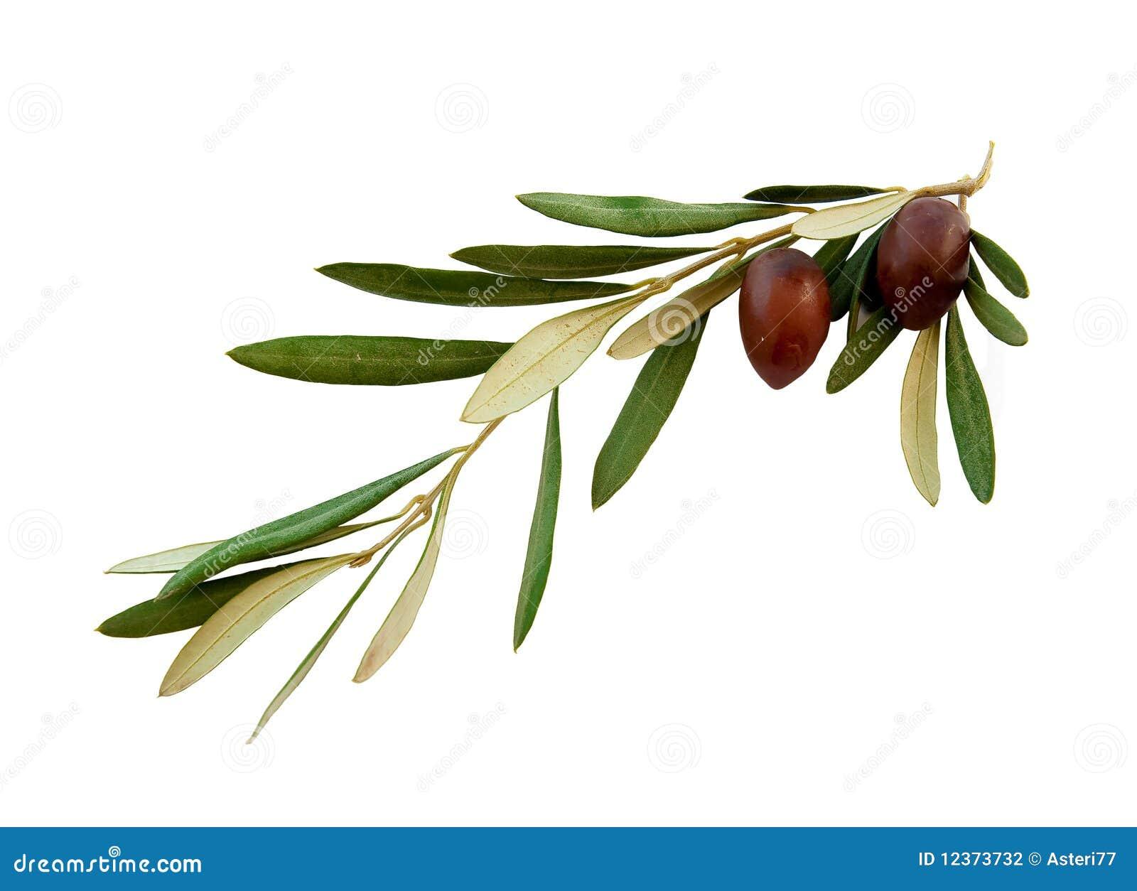 branche d 39 olivier avec des lames de vert sur un blanc photographie stock image 12373732. Black Bedroom Furniture Sets. Home Design Ideas