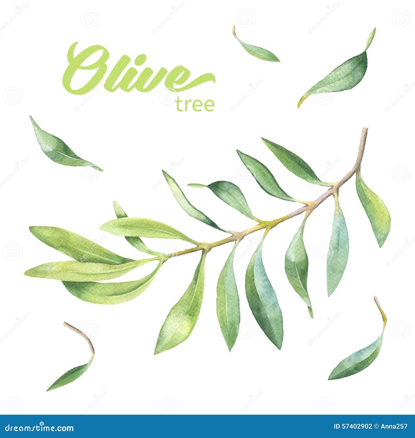 branche d 39 olivier verte d 39 aquarelle illustration de vecteur illustration du agriculture. Black Bedroom Furniture Sets. Home Design Ideas