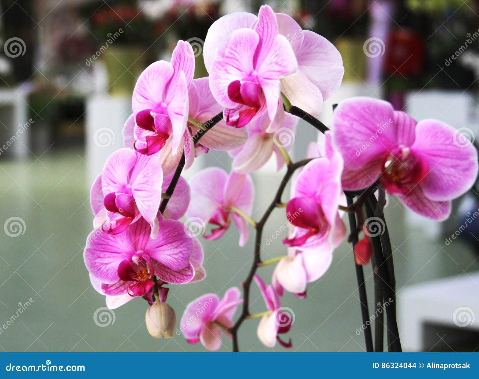 Branche D\'orchidée Rose Dans Le Jardin Botanique Photo stock - Image ...