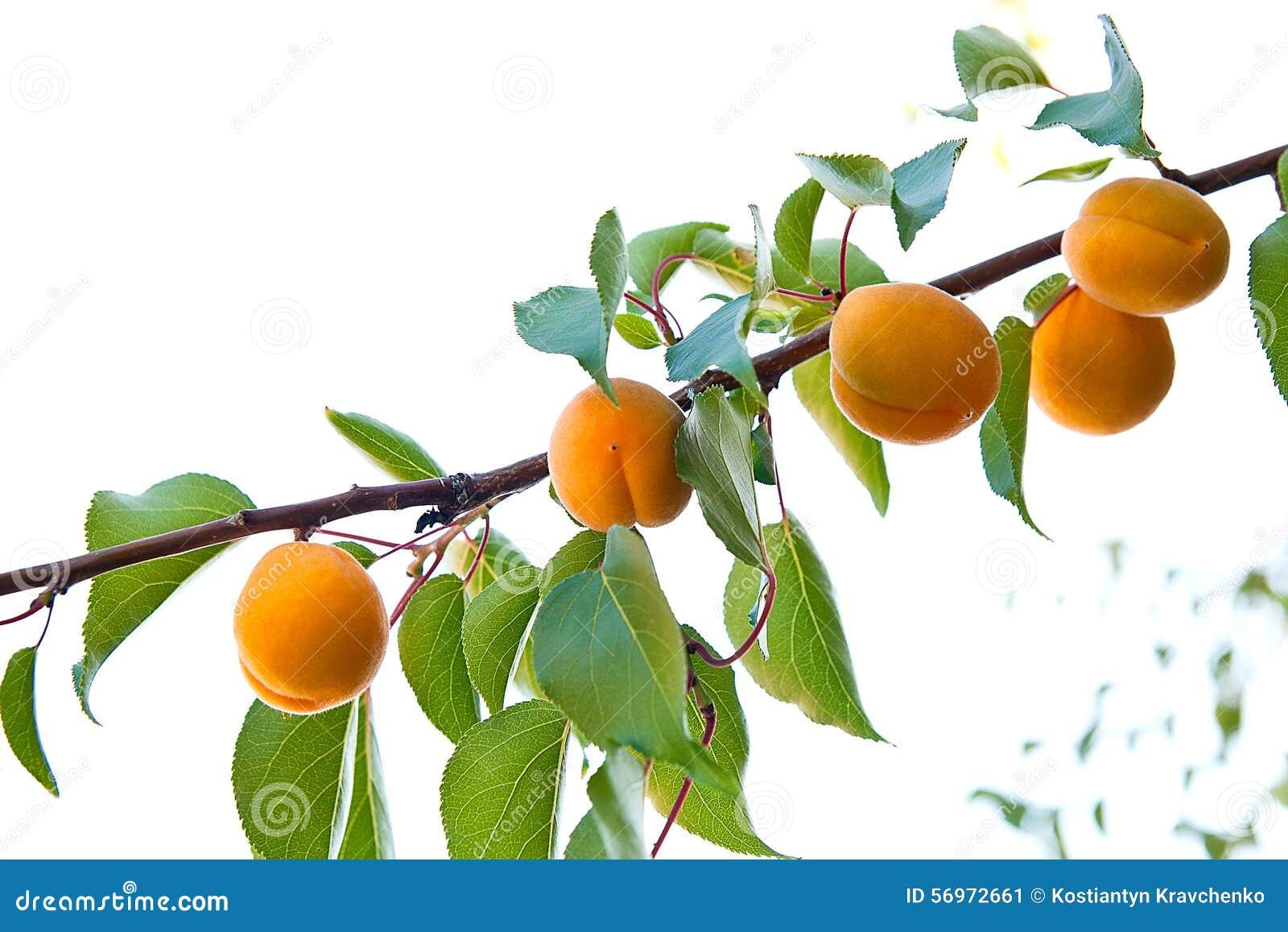 Branche d 39 un abricotier avec les fruits m rs image stock for Taille d un abricotier fruits