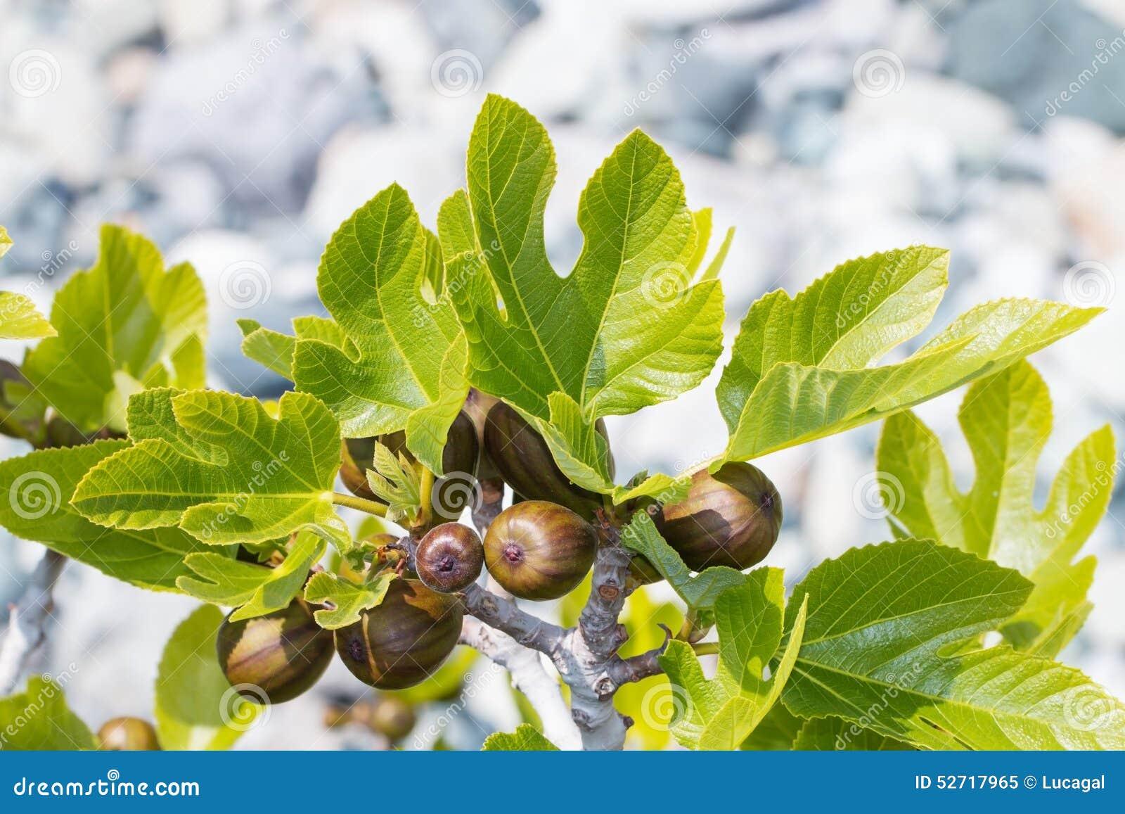 branche de figue avec les fruits et les feuilles non m rs photo stock image 52717965. Black Bedroom Furniture Sets. Home Design Ideas